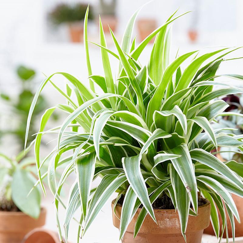 Kurdele Çiçeği (Chlorophytum)