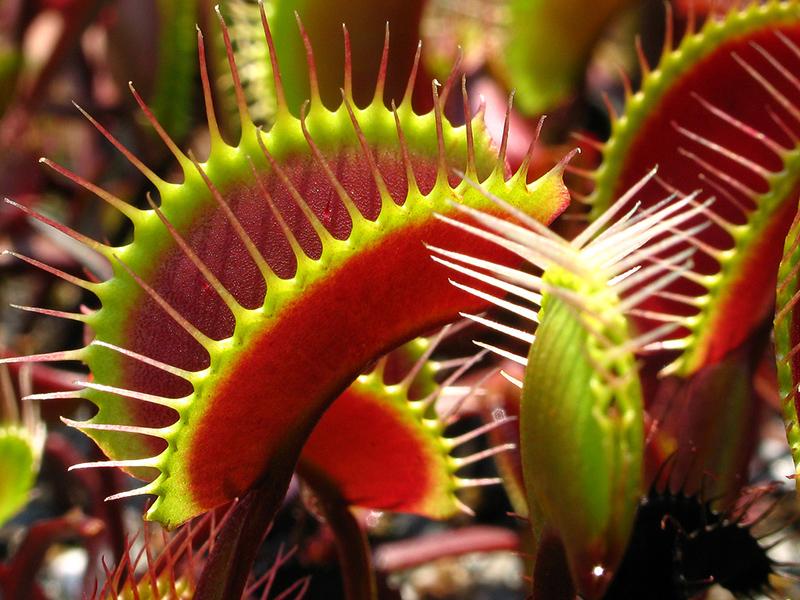 Sinekkapan Bitkisi (Dionaea muscipula)