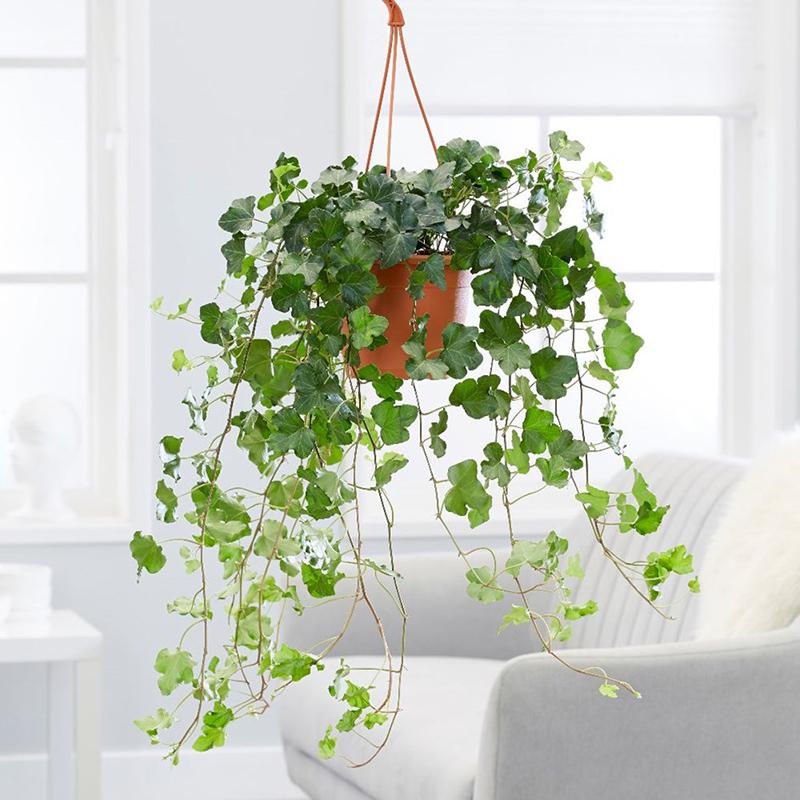 Duvar sarmaşığı, Common ivy (Hedera helix)
